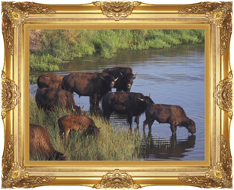 U S Fish and Wildlife Service Wild Bison with Majestic Gold Frame