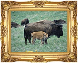U S Fish And Wildlife Service Bison Cow And Calf canvas with Majestic Gold frame