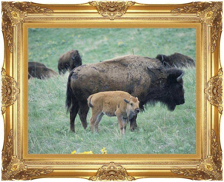 U S Fish and Wildlife Service Bison Cow and Calf with Majestic Gold Frame