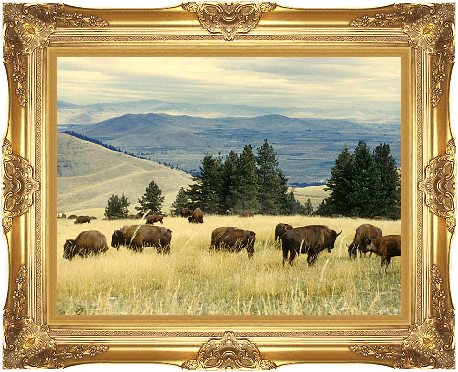 U S Fish and Wildlife Service Bison Herd with Majestic Gold Frame