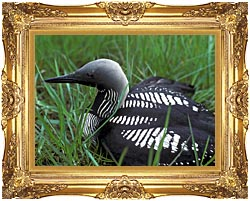 U S Fish And Wildlife Service Artic Loon canvas with Majestic Gold frame