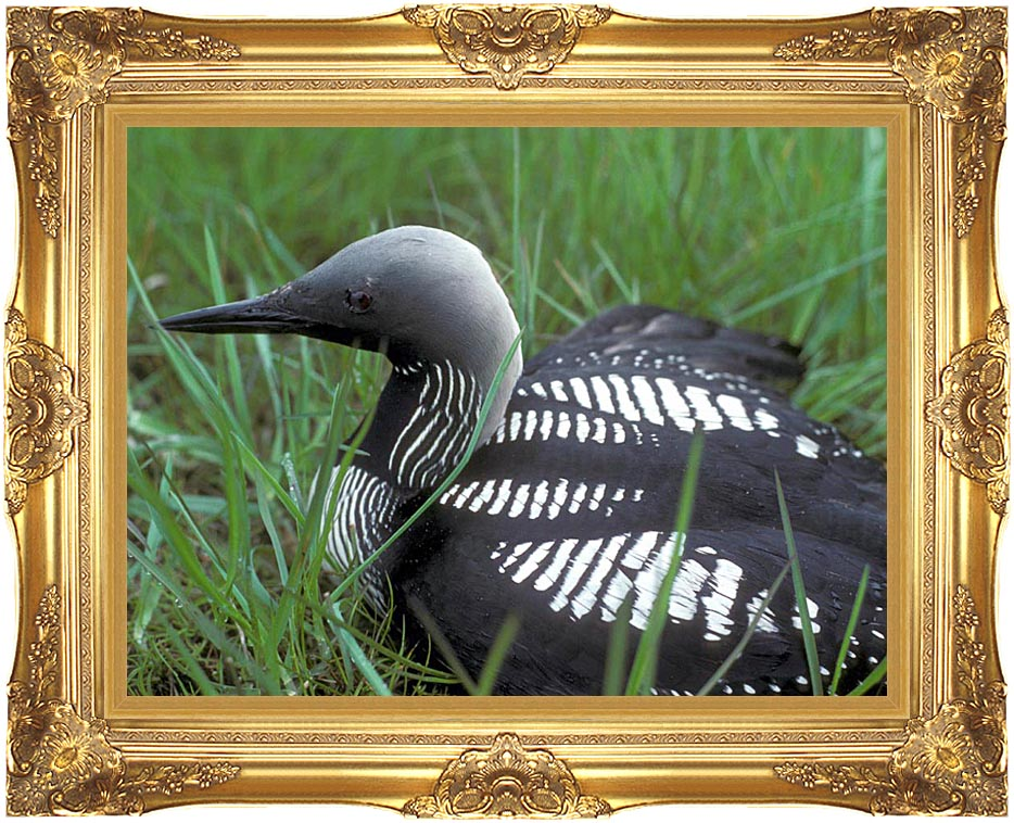 U S Fish and Wildlife Service Artic Loon with Majestic Gold Frame