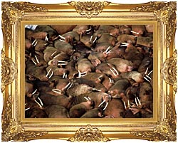 U S Fish And Wildlife Service Walrus Herd canvas with Majestic Gold frame