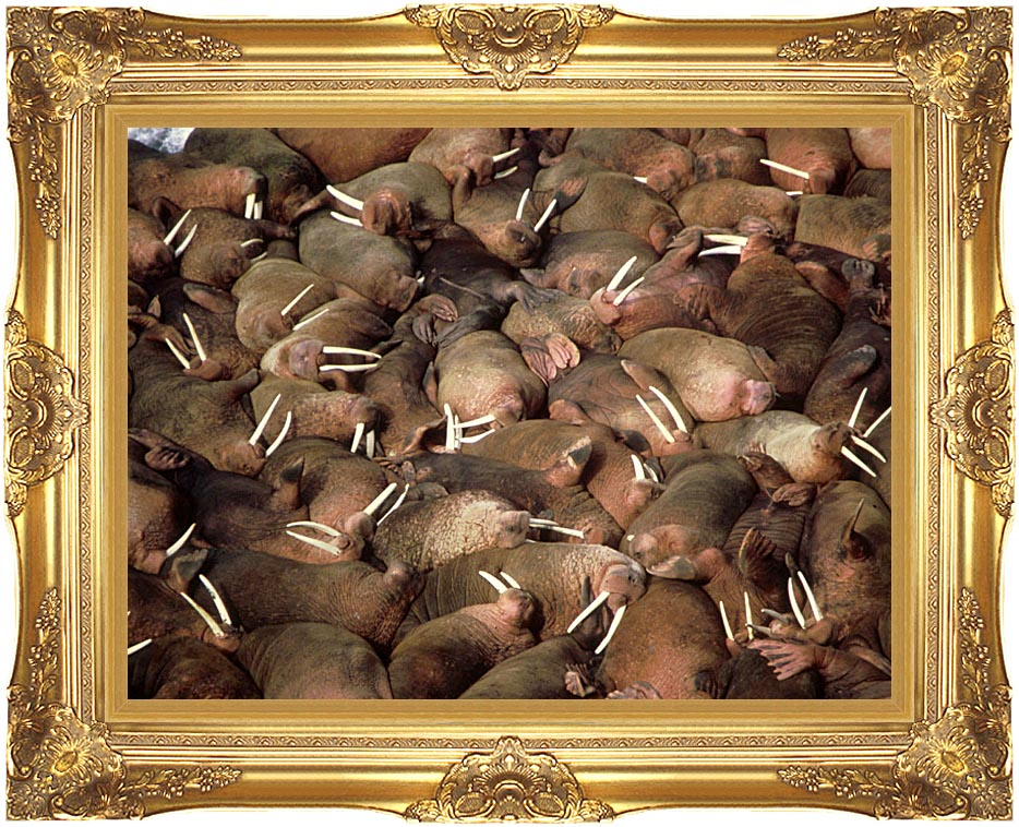 U S Fish and Wildlife Service Walrus Herd with Majestic Gold Frame