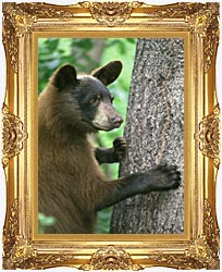 U S Fish And Wildlife Service American Black Bear canvas with Majestic Gold frame