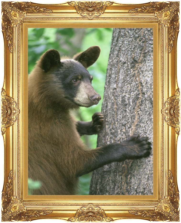U S Fish and Wildlife Service American Black Bear with Majestic Gold Frame