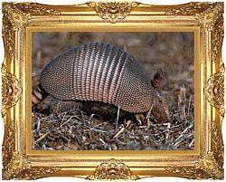 U S Fish And Wildlife Service Armadillo canvas with Majestic Gold frame