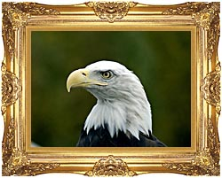 U S Fish And Wildlife Service U S A Bald Eagle canvas with Majestic Gold frame