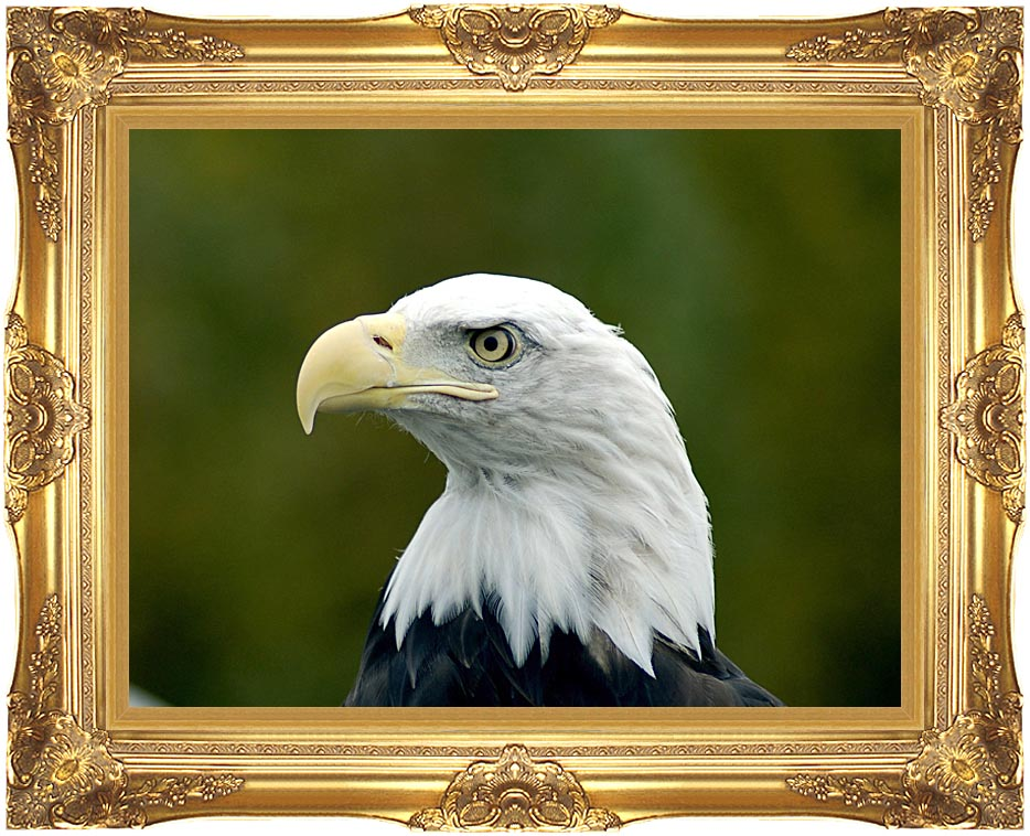 U S Fish and Wildlife Service U S A Bald Eagle with Majestic Gold Frame