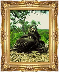 U S Fish And Wildlife Service Bald Eagle Chick canvas with Majestic Gold frame