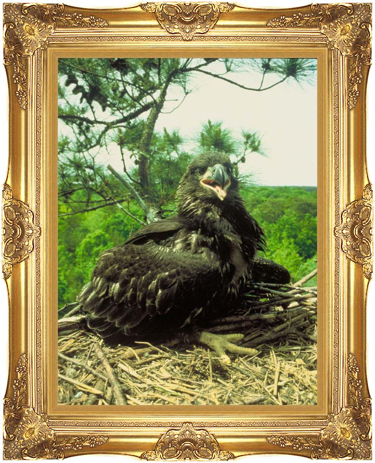 U S Fish and Wildlife Service Bald Eagle Chick with Majestic Gold Frame