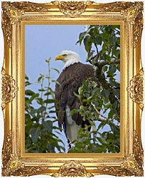 U S Fish And Wildlife Service Bald Eagle On Tree Branch canvas with Majestic Gold frame