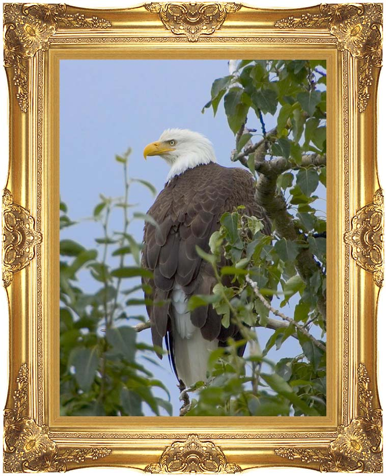 U S Fish and Wildlife Service Bald Eagle on Tree Branch with Majestic Gold Frame