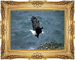U S Fish And Wildlife Service Bald Eagle Landing On Nest canvas with Majestic Gold frame
