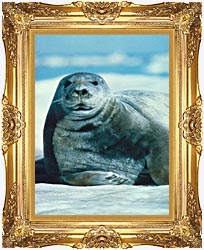 U S Fish And Wildlife Service Bearded Seal canvas with Majestic Gold frame