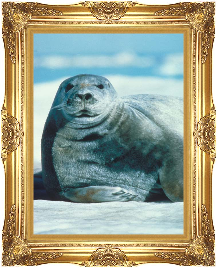 U S Fish and Wildlife Service Bearded Seal with Majestic Gold Frame