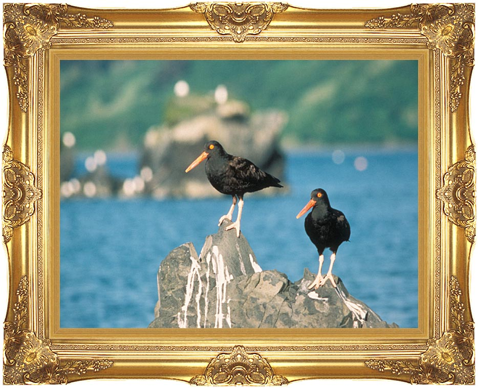 U S Fish and Wildlife Service Black Oystercatchers with Majestic Gold Frame