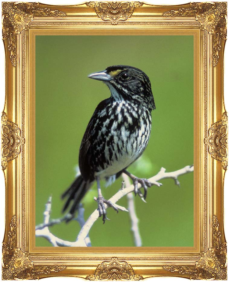 U S Fish and Wildlife Service Dusky Seaside Sparrow with Majestic Gold Frame