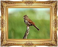 U S Fish And Wildlife Service Fox Sparrow canvas with Majestic Gold frame