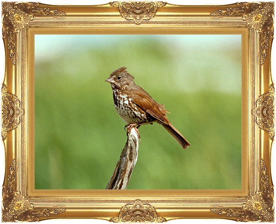 U S Fish and Wildlife Service Fox Sparrow with Majestic Gold Frame