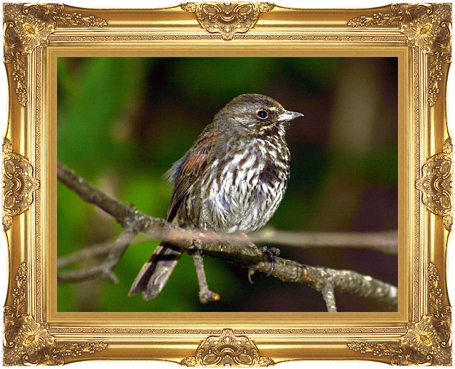U S Fish and Wildlife Service Fox Sparrow in Tree with Majestic Gold Frame