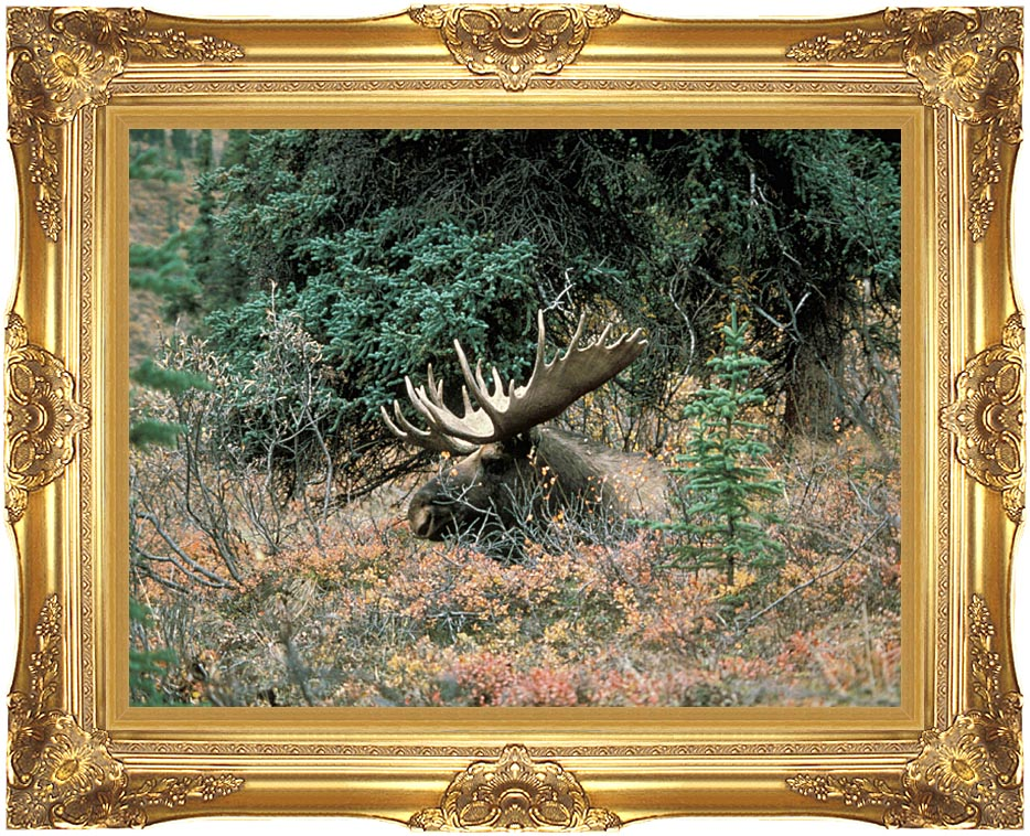 U S Fish and Wildlife Service Bull Moose with Majestic Gold Frame