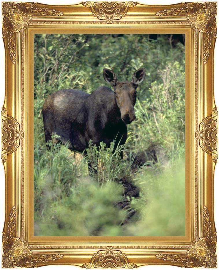 U S Fish and Wildlife Service Moose with Majestic Gold Frame