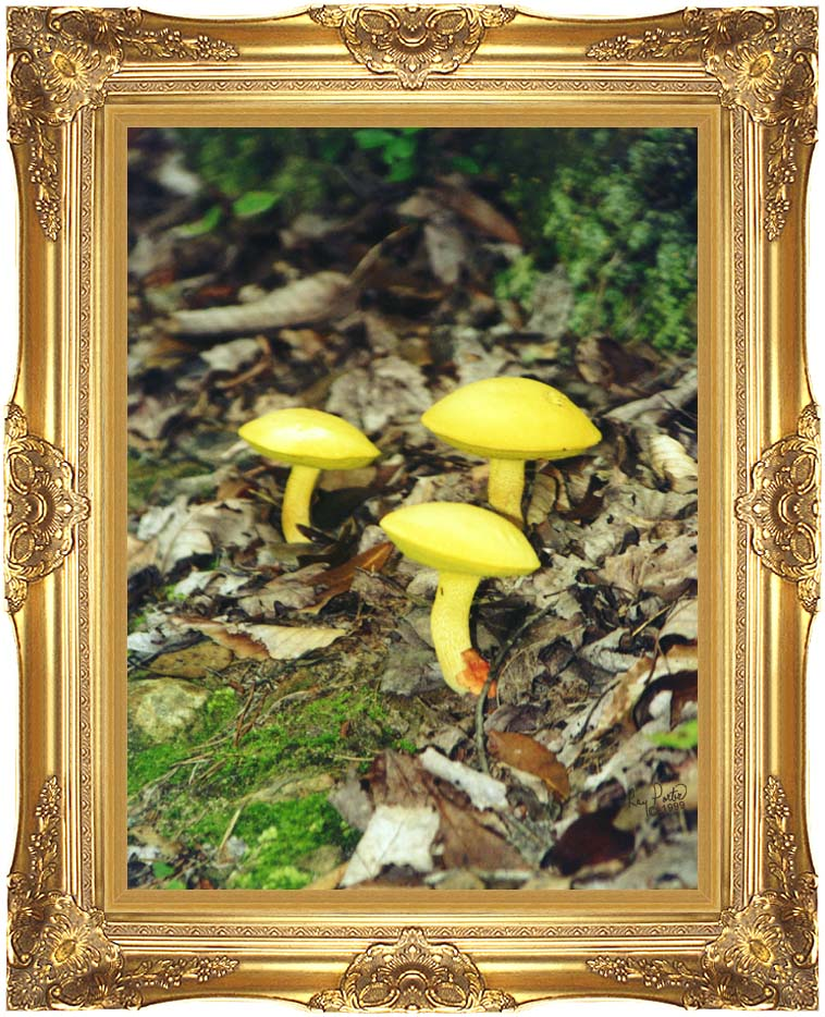 Ray Porter Yellow Bellys with Majestic Gold Frame