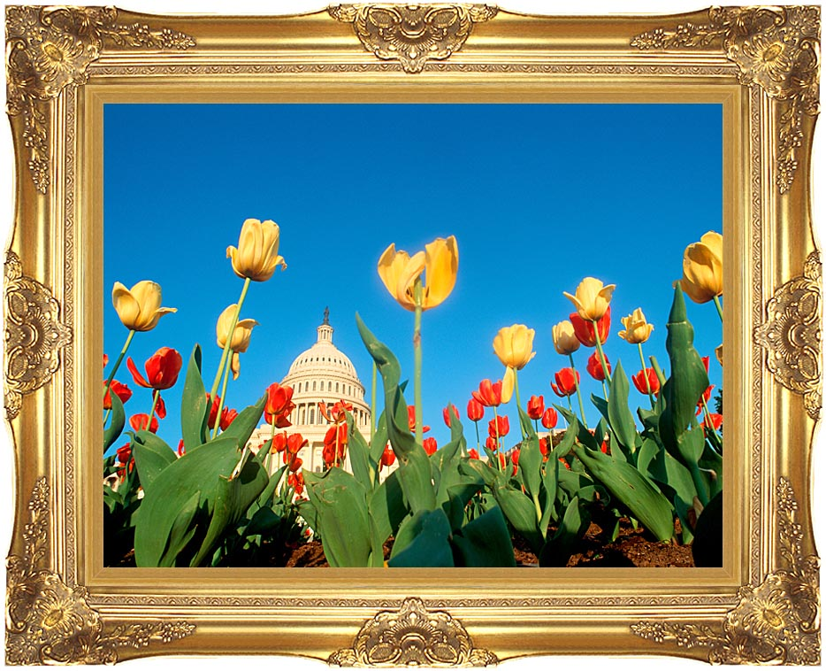 Visions of America Tulips in Spring with U S Capitol Building with Majestic Gold Frame