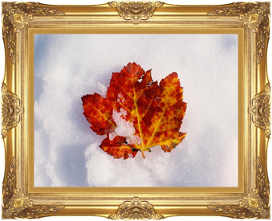 Visions of America Red Maple Leaf in Snow, Acadia National Park, Maine with Majestic Gold Frame