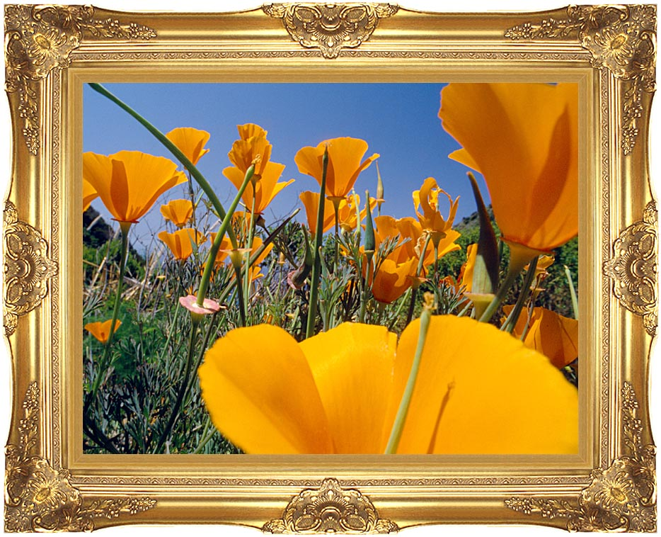 Visions of America Close-up Of California Poppies Blooming In Springtime with Majestic Gold Frame