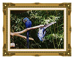 Brandie Newmon Blue Parrots Hanging Around canvas with museum ornate gold frame