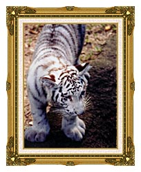 Brandie Newmon White Tiger Cub Exploring canvas with museum ornate gold frame