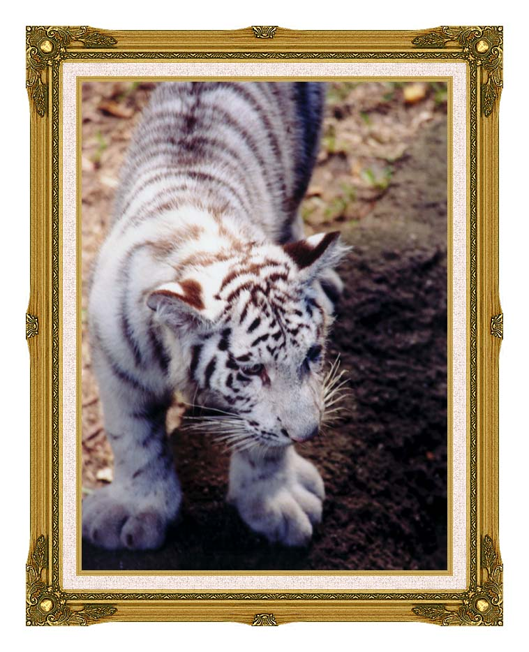 Brandie Newmon White Tiger Cub Exploring with Museum Ornate Frame w/Liner