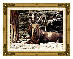 Brandie Newmon Ibex   Wild Goats canvas with museum ornate gold frame