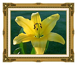 Brandie Newmon Yellow Lily canvas with museum ornate gold frame