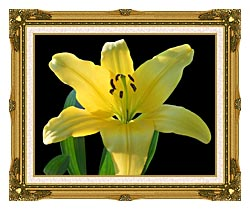 Brandie Newmon Yellow Lily Flower canvas with museum ornate gold frame