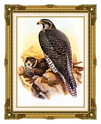 John Gould Gyrfalcon canvas with museum ornate gold frame