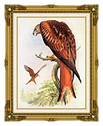 John Gould Red Kite canvas with museum ornate gold frame