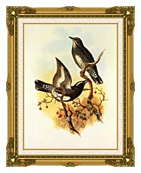 John Gould Siberian Thrush canvas with museum ornate gold frame