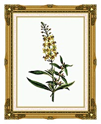 William Curtis Bulb Bearing Loosestrife canvas with museum ornate gold frame