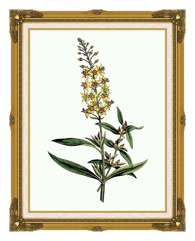 William Curtis Bulb Bearing Loosestrife with Museum Ornate Frame w/Liner