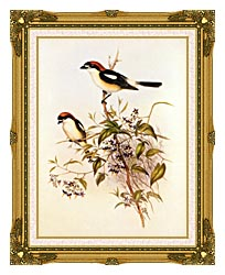John Gould Woodchat Shrike canvas with museum ornate gold frame