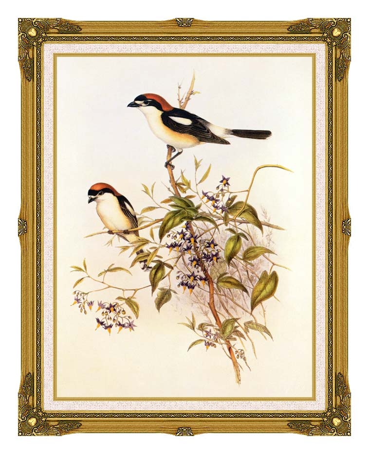 John Gould Woodchat Shrike with Museum Ornate Frame w/Liner