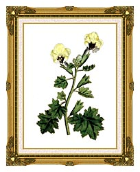 William Curtis Golden Flowered Henbane canvas with museum ornate gold frame