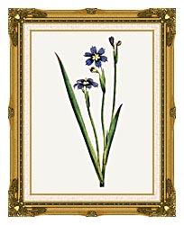 William Curtis Iris Leaved Sisyrinchium canvas with museum ornate gold frame