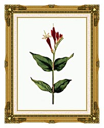 William Curtis Maryland Spigelia canvas with museum ornate gold frame