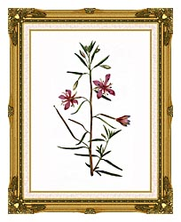 William Curtis Narrowest Leaved Willow Herb canvas with museum ornate gold frame