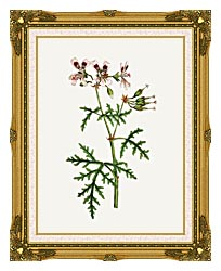 William Curtis Rasp Leaved Geranium canvas with museum ornate gold frame