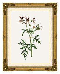 William Curtis Rasp Leaved Geranium canvas with museum ornate gold frame